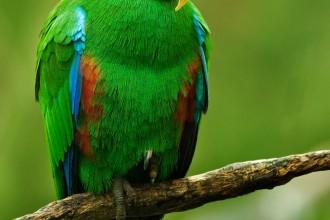 Male Eclectus Parrot , 8 Fabulous Eclectus Parrots In Birds Category