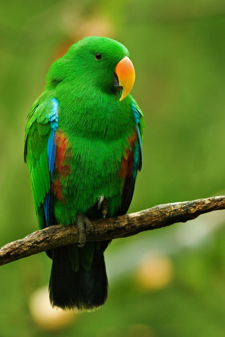 Birds , 8 Fabulous Eclectus Parrots : Male Eclectus Parrot