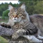 Male Maine Coon cat , 7 Beautiful Pictures Of Maine Coon Cats In Cat Category