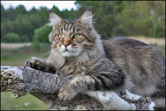 Cat , 7 Beautiful Pictures Of Maine Coon Cats : Male Maine Coon Cat