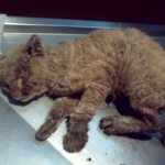 Mange Cat , 5 Cat Mange Pictures To Consider In Cat Category