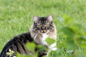 Manx Cat Images , 8 Beautiful Pictures Of Manx Cats In Cat Category