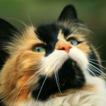 Manx Cat Photos , 8 Beautiful Pictures Of Manx Cats In Cat Category