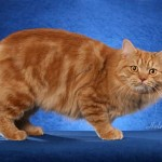 Manx Cat Picture , 8 Beautiful Pictures Of Manx Cats In Cat Category