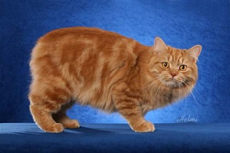Manx Cat Picture in Genetics