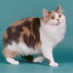 Manx Cat Pictures , 5 Beautiful Manx Cat Pictures In Cat Category