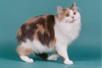 Manx Cat Pictures in Genetics