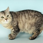 Manx Kittens , 5 Beautiful Manx Cat Pictures In Cat Category