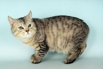 Manx Kittens in Scientific data