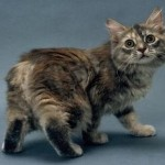 Manx Persian Cat , 5 Beautiful Manx Cat Pictures In Cat Category