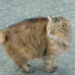 Manx cats , 5 Beautiful Manx Cat Pictures In Cat Category