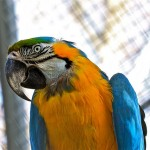 McCaw parrot , 7 Top Mccaw Parrot In Birds Category