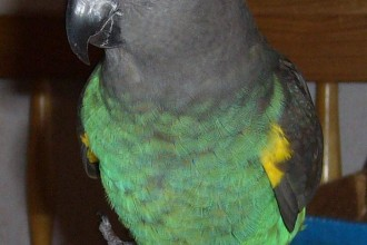 Meyers Parrot in Brain