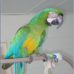 MiliGold Macaw Babies , 8 Wonderful Miligold Macaw In Birds Category