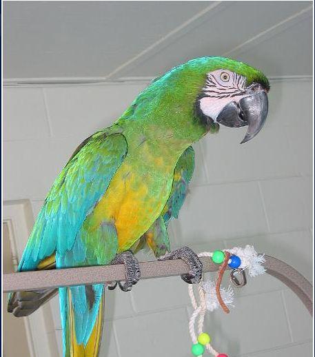 Birds , 8 Wonderful Miligold Macaw : MiliGold Macaw Babies