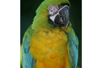 Miligold Macaw Poster , 8 Wonderful Miligold Macaw In Birds Category