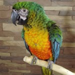 Miligold Macaw baby , 8 Wonderful Miligold Macaw In Birds Category
