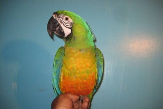 Miligold Macaw For Sale , 8 Wonderful Miligold Macaw In Birds Category