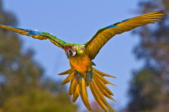 Miligold Macaws , 8 Wonderful Miligold Macaw In Birds Category