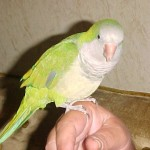 Monk Parakeet , 7 Unique Quaker Parrot Talking In Birds Category