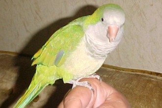 Monk Parakeet in Muscles