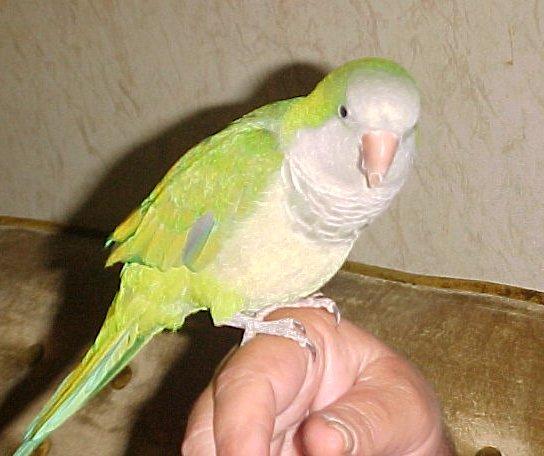 Birds , 7 Unique Quaker Parrot Talking : Monk Parakeet