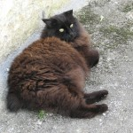 Mufty The Manx Cat , 5 Beautiful Manx Cat Pictures In Cat Category