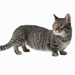 Munchkin Cats , 5 Cute Munchkin Cat Pictures In Cat Category
