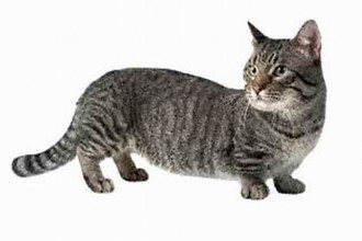 Munchkin Cats in Scientific data