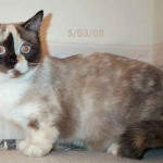 Munchkin Cats World Wide , 5 Cute Munchkin Cat Pictures In Cat Category