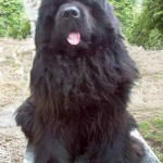 Newfoundland , 7 Charming Newfoundland Dog Pictures In Dog Category