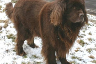 Newfoundland Dog in pisces
