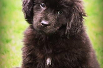 Newfoundland Dog , 7  Lovely Pictures Of Newfoundland Dogs In Dog Category