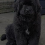 Newfoundland Dog Breed , 7  Lovely Pictures Of Newfoundland Dogs In Dog Category