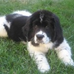 Newfoundland Pictures , 7 Charming Newfoundland Dog Pictures In Dog Category