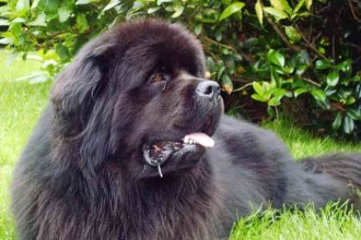Newfoundland Dog Breed , 7 Charming Newfoundland Dog Pictures In Dog Category