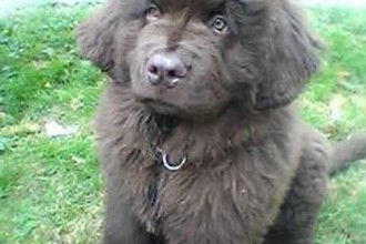 Newfoundland Puppy , 7 Charming Newfoundland Dog Pictures In Dog Category