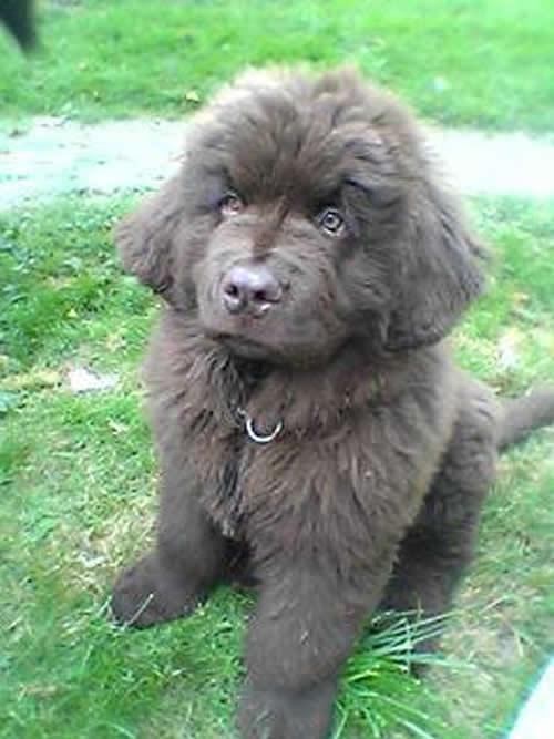 Dog , 7 Charming Newfoundland Dog Pictures : Newfoundland Puppy