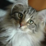 Norwegian Forest Cat , 6 Lovely Cat Breeds With Pictures In Cat Category