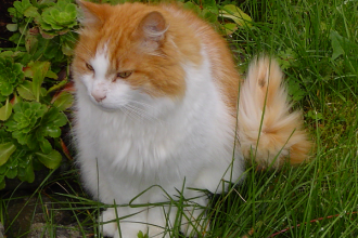 Norwegian Forest Cat Pictures , 7 Stunning Norwegian Forest Cat Pictures In Cat Category