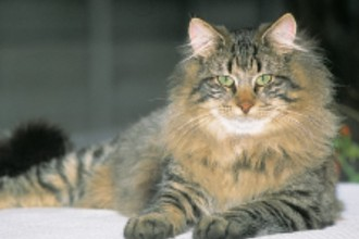 Norwegian Forest Cat in Cell