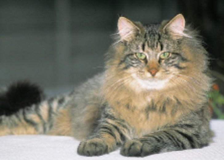 Cat , 7 Stunning Norwegian Forest Cat Pictures : Norwegian Forest Cat