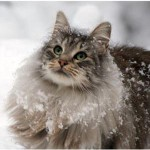 Norwegian Forest Cat , 7 Stunning Norwegian Forest Cat Pictures In Cat Category
