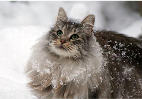 Cat , 7 Stunning Norwegian Forest Cat Pictures : Norwegian Forest Cat