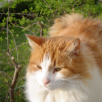 Norwegian Forest kittens , 7 Stunning Norwegian Forest Cat Pictures In Cat Category