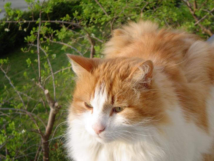 Cat , 7 Stunning Norwegian Forest Cat Pictures : Norwegian Forest Kittens