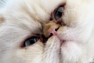 Old Himalayan Cat , 7 Cute Pictures Of Himalayan Cats In Cat Category