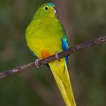 Orange Parrot , 7 Lovely Orange Bellied Parrot In Birds Category