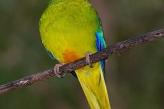 Orange Parrot , 7 Lovely Orange Bellied Parrot In Birds Category