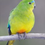 Orange bellied Parrot , 7 Lovely Orange Bellied Parrot In Birds Category